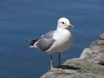Stormmge (Larus canus)